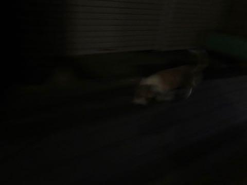 ウェルシュ・コーギー・ペンブロークこいぬ情報フントヒュッテウェルシュコーギーペンブローク子犬画像コーギーしっぽ付き尻尾付きしっぽつき断尾していないコーギー出産情報性格子犬の社会化コーギー家族募集中 Welsh Corgi Pembroke _ 2057.jpg
