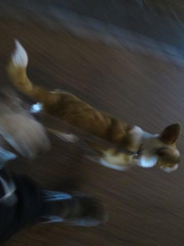 ウェルシュ・コーギー・ペンブロークこいぬ情報フントヒュッテウェルシュコーギーペンブローク子犬画像コーギーしっぽ付き尻尾付きしっぽつき断尾していないコーギー出産情報性格子犬の社会化コーギー家族募集中 Welsh Corgi Pembroke _ 2059.jpg