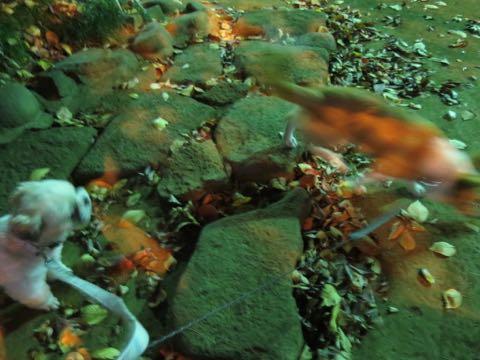 ウェルシュ・コーギー・ペンブロークこいぬ情報フントヒュッテウェルシュコーギーペンブローク子犬画像コーギーしっぽ付き尻尾付きしっぽつき断尾していないコーギー出産情報性格子犬の社会化コーギー家族募集中 Welsh Corgi Pembroke _ 2088.jpg