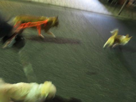 ウェルシュ・コーギー・ペンブロークこいぬ情報フントヒュッテウェルシュコーギーペンブローク子犬画像コーギーしっぽ付き尻尾付きしっぽつき断尾していないコーギー出産情報性格子犬の社会化コーギー家族募集中 Welsh Corgi Pembroke _ 2144.jpg