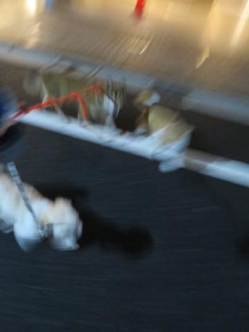 ウェルシュ・コーギー・ペンブロークこいぬ情報フントヒュッテウェルシュコーギーペンブローク子犬画像コーギーしっぽ付き尻尾付きしっぽつき断尾していないコーギー出産情報性格子犬の社会化コーギー家族募集中 Welsh Corgi Pembroke _ 2145.jpg