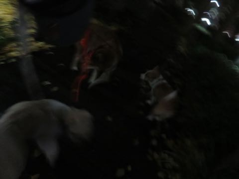 ウェルシュ・コーギー・ペンブロークこいぬ情報フントヒュッテウェルシュコーギーペンブローク子犬画像コーギーしっぽ付き尻尾付きしっぽつき断尾していないコーギー出産情報性格子犬の社会化コーギー家族募集中 Welsh Corgi Pembroke _ 2149.jpg