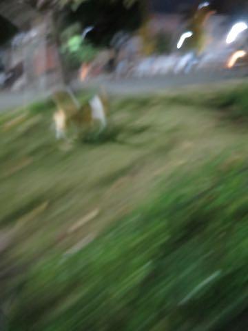 ウェルシュ・コーギー・ペンブロークこいぬ情報フントヒュッテウェルシュコーギーペンブローク子犬画像コーギーしっぽ付き尻尾付きしっぽつき断尾していないコーギー出産情報性格子犬の社会化コーギー家族募集中 Welsh Corgi Pembroke _ 2187.jpg