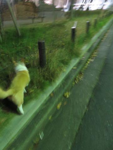 ウェルシュ・コーギー・ペンブロークこいぬ情報フントヒュッテウェルシュコーギーペンブローク子犬画像コーギーしっぽ付き尻尾付きしっぽつき断尾していないコーギー出産情報性格子犬の社会化コーギー家族募集中 Welsh Corgi Pembroke _ 2188.jpg