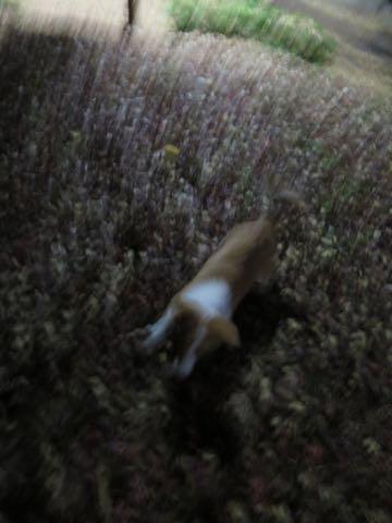 ウェルシュ・コーギー・ペンブロークこいぬ情報フントヒュッテウェルシュコーギーペンブローク子犬画像コーギーしっぽ付き尻尾付きしっぽつき断尾していないコーギー出産情報性格子犬の社会化コーギー家族募集中 Welsh Corgi Pembroke _ 2199.jpg