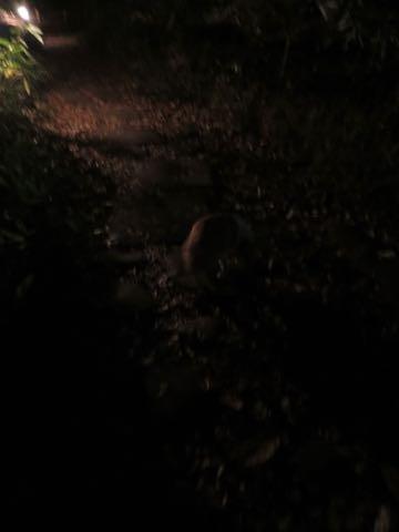 ウェルシュ・コーギー・ペンブロークこいぬ情報フントヒュッテウェルシュコーギーペンブローク子犬画像コーギーしっぽ付き尻尾付きしっぽつき断尾していないコーギー出産情報性格子犬の社会化コーギー家族募集中 Welsh Corgi Pembroke _ 2210.jpg