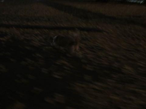 ウェルシュ・コーギー・ペンブロークこいぬ情報フントヒュッテウェルシュコーギーペンブローク子犬画像コーギーしっぽ付き尻尾付きしっぽつき断尾していないコーギー出産情報性格子犬の社会化コーギー家族募集中 Welsh Corgi Pembroke _ 2228.jpg