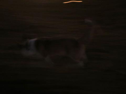 ウェルシュ・コーギー・ペンブロークこいぬ情報フントヒュッテウェルシュコーギーペンブローク子犬画像コーギーしっぽ付き尻尾付きしっぽつき断尾していないコーギー出産情報性格子犬の社会化コーギー家族募集中 Welsh Corgi Pembroke _ 2230.jpg