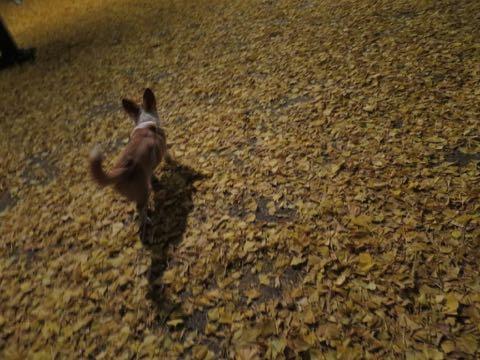 ウェルシュ・コーギー・ペンブロークこいぬ情報フントヒュッテウェルシュコーギーペンブローク子犬画像コーギーしっぽ付き尻尾付きしっぽつき断尾していないコーギー出産情報性格子犬の社会化コーギー家族募集中 Welsh Corgi Pembroke _ 2240.jpg