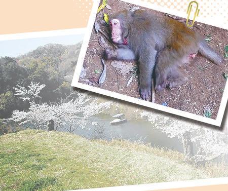 交雑種サル、不妊手術か安楽死か 問われる人間の功罪.jpg