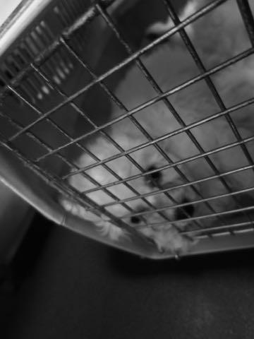 ビションフリーゼこいぬ情報フントヒュッテビション性格どこでこいぬ画像子犬の社会化ビション赤ちゃんチャンピオン直子かわいいビションフリーゼ東京ビション出産情報性格ビション家族募集中_18.jpg