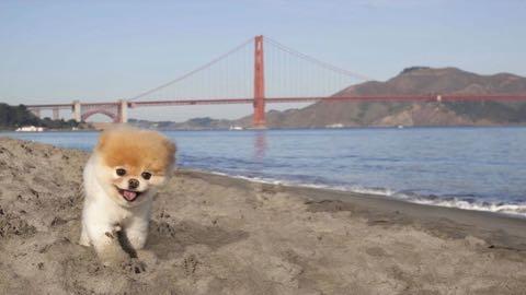 「世界一かわいい犬」が死ぬ、ポメラニアンのブゥ.jpg