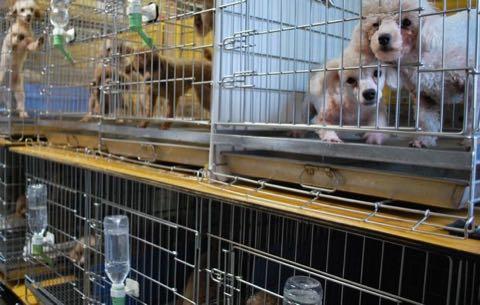 """ペット業界の""""すし詰め商法""""に環境省が規制へ 飼育ケージをめぐる攻防.jpg"""