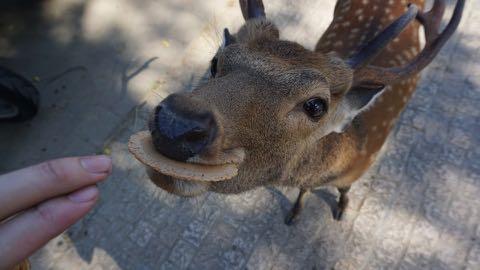 奈良公園のシカによるけが人が過去最悪 2018年度、奈良公園のシカで200人以上が負傷 けが理由の6割以上が「鹿せんべい」での餌付け 1.jpg