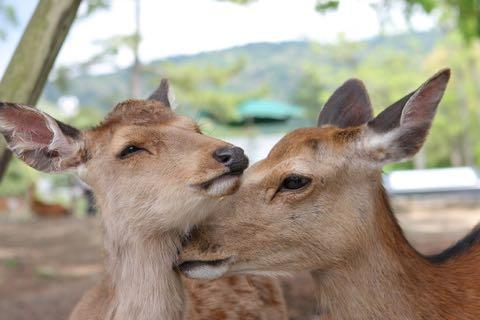 奈良公園のシカによるけが人が過去最悪 2018年度、奈良公園のシカで200人以上が負傷 けが理由の6割以上が「鹿せんべい」での餌付け 2.jpg