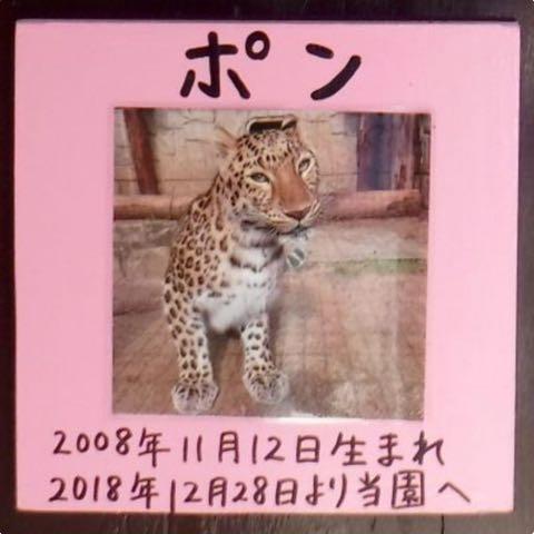 ヒョウの家系図が話題 アムールヒョウ ベルとチャイムの子は ピン ポン ダッシュ 大牟田市動物園 _ 2.jpg