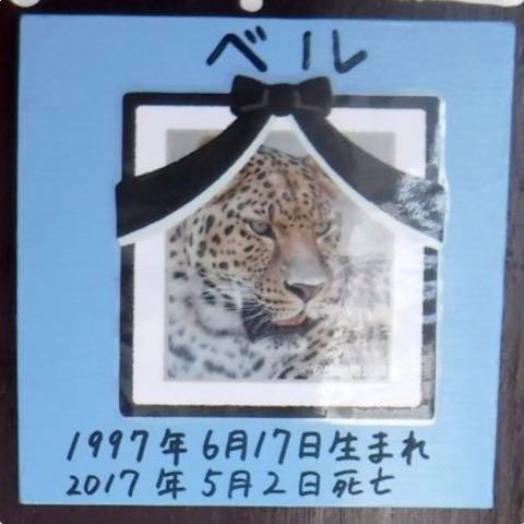 ヒョウの家系図が話題 アムールヒョウ ベルとチャイムの子は ピン ポン ダッシュ 大牟田市動物園 _ 3.jpg