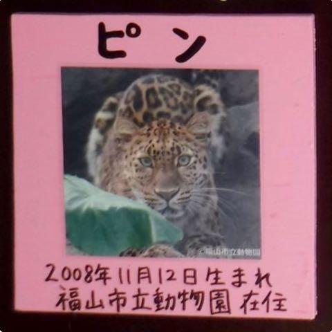 ヒョウの家系図が話題 アムールヒョウ ベルとチャイムの子は ピン ポン ダッシュ 大牟田市動物園 _ 5.jpg