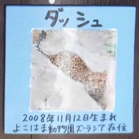 ヒョウの家系図が話題 アムールヒョウ ベルとチャイムの子は ピン ポン ダッシュ 大牟田市動物園 _ 6.jpg
