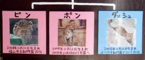 ヒョウの家系図が話題 アムールヒョウ ベルとチャイムの子は ピン ポン ダッシュ 大牟田市動物園 _ 7.jpg