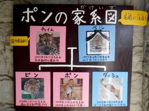 ヒョウの家系図が話題 アムールヒョウ ベルとチャイムの子は ピン ポン ダッシュ 大牟田市動物園 _ 8.jpg