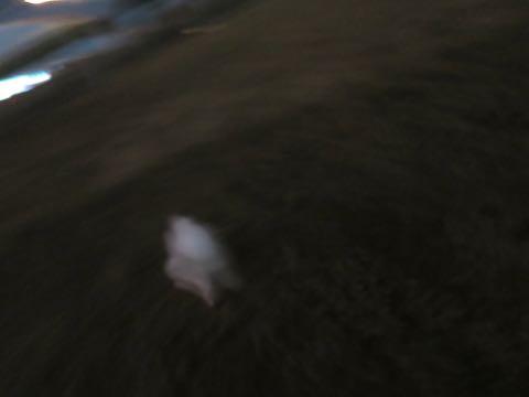 ビションフリーゼこいぬ情報フントヒュッテビション性格どこでこいぬ画像子犬の社会化ビション赤ちゃんチャンピオン直子かわいいビションフリーゼ東京ビション出産情報性格ビション家族募集中_436.jpg
