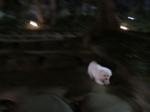 ビションフリーゼこいぬ情報フントヒュッテビション性格どこでこいぬ画像子犬の社会化ビション赤ちゃんチャンピオン直子かわいいビションフリーゼ東京ビション出産情報性格ビション家族募集中_479.jpg