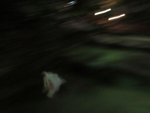 ビションフリーゼこいぬ情報フントヒュッテビション性格どこでこいぬ画像子犬の社会化ビション赤ちゃんチャンピオン直子かわいいビションフリーゼ東京ビション出産情報性格ビション家族募集中_481.jpg