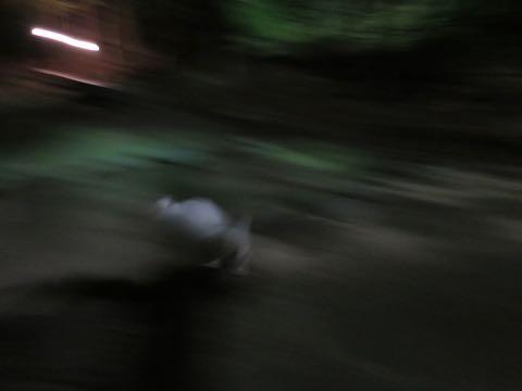 ビションフリーゼこいぬ情報フントヒュッテビション性格どこでこいぬ画像子犬の社会化ビション赤ちゃんチャンピオン直子かわいいビションフリーゼ東京ビション出産情報性格ビション家族募集中_482.jpg