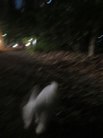 ビションフリーゼこいぬ情報フントヒュッテビション性格どこでこいぬ画像子犬の社会化ビション赤ちゃんチャンピオン直子かわいいビションフリーゼ東京ビション出産情報性格ビション家族募集中_493.jpg