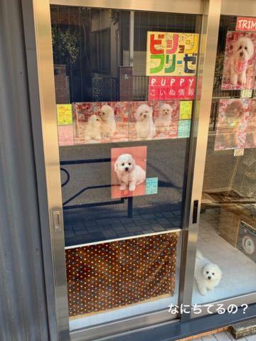 ビションフリーゼこいぬ情報フントヒュッテビション性格おとなしいセラピードッグ育成飼いやすい犬とはどこでこいぬ画像子犬の社会化ビション赤ちゃんかわいいビションフリーゼ東京ビション出産情報性格ビション家族募集中_67.jpg