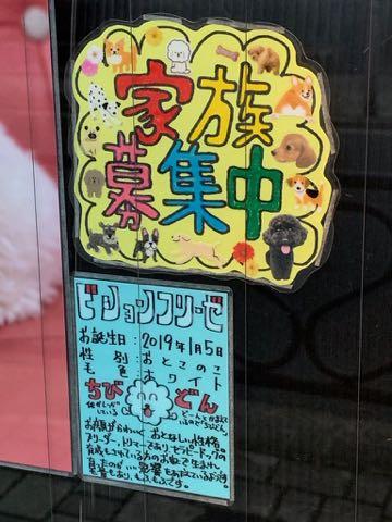 ビションフリーゼこいぬ情報フントヒュッテビション性格おとなしいセラピードッグ育成飼いやすい犬とはどこでこいぬ画像子犬の社会化ビション赤ちゃんかわいいビションフリーゼ東京ビション出産情報性格ビション家族募集中_78.jpg