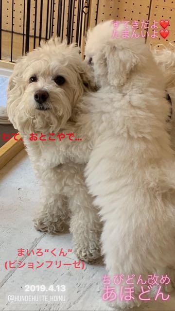 ビションフリーゼこいぬ情報フントヒュッテビション性格おとなしいセラピードッグ育成飼いやすい犬とはどこでこいぬ画像子犬の社会化ビション赤ちゃんかわいいビションフリーゼ東京ビション出産情報性格ビション家族募集中_488.jpg