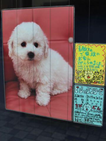 ビションフリーゼこいぬ情報フントヒュッテビション性格おとなしいセラピードッグ育成飼いやすい犬とはどこでこいぬ画像子犬の社会化ビション赤ちゃんかわいいビションフリーゼ東京ビション出産情報性格ビション家族募集中_558.jpg