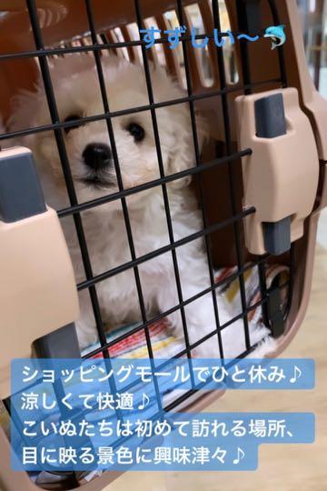 ビションフリーゼこいぬ情報フントヒュッテビション性格どこでこいぬ画像子犬の社会化ビション赤ちゃんチャンピオン直子かわいいビションフリーゼ東京ビション出産情報家族募集中ビションおとこのこビションおんなのこ _ 14.jpg