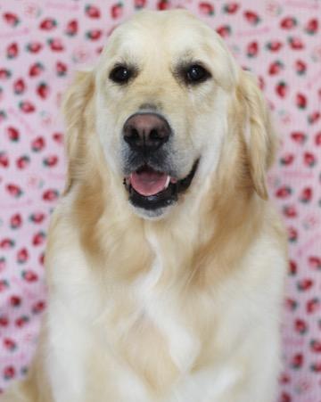 ゴールデンレトリバートリミング東京フントヒュッテ大型犬トリミングやってますゴールデン抜け毛半端ないgoldenretrivertrimmingsalon_1.jpg