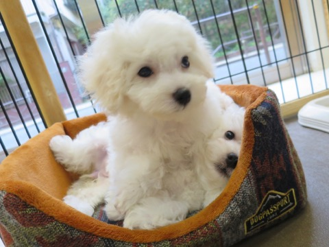 ボロニーズ こいぬ情報 子犬情報 家族募集中 おとなしい犬 飼いやすい犬 犬の社会化 フントヒュッテ bolognese #ボロニーズ #こいぬ情報 #子犬情報 #家族募集中 #おとなしい犬 #飼いやすい犬 #犬の社会化 #フントヒュッテ #bolognese _ 101.jpg