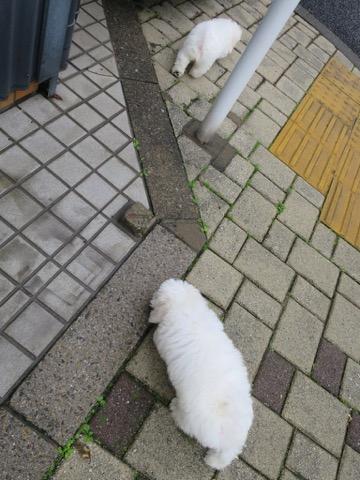 ボロニーズ こいぬ情報 子犬情報 家族募集中 おとなしい犬 飼いやすい犬 犬の社会化 フントヒュッテ bolognese #ボロニーズ #こいぬ情報 #子犬情報 #家族募集中 #おとなしい犬 #飼いやすい犬 #犬の社会化 #フントヒュッテ #bolognese _ 107.jpg