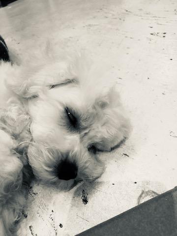 ボロニーズ こいぬ情報 子犬情報 家族募集中 おとなしい犬 飼いやすい犬 犬の社会化 フントヒュッテ bolognese #ボロニーズ #こいぬ情報 #子犬情報 #家族募集中 #おとなしい犬 #飼いやすい犬 #犬の社会化 #フントヒュッテ #bolognese _ 113.jpg
