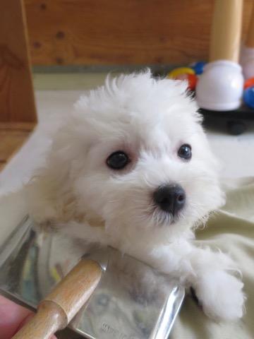 ボロニーズ こいぬ情報 子犬情報 家族募集中 おとなしい犬 飼いやすい犬 犬の社会化 フントヒュッテ bolognese #ボロニーズ #こいぬ情報 #子犬情報 #家族募集中 #おとなしい犬 #飼いやすい犬 #犬の社会化 #フントヒュッテ #bolognese _ 121.jpg