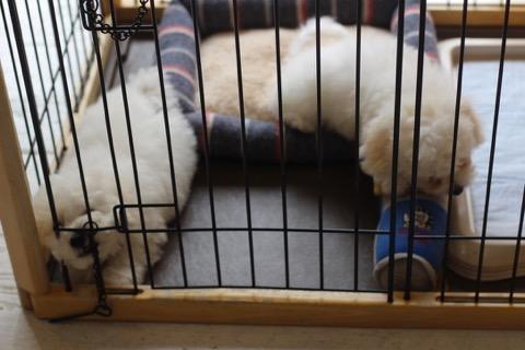 ボロニーズ こいぬ情報 子犬情報 家族募集中 おとなしい犬 飼いやすい犬 犬の社会化 フントヒュッテ bolognese #ボロニーズ #こいぬ情報 #子犬情報 #家族募集中 #おとなしい犬 #飼いやすい犬 #犬の社会化 #フントヒュッテ #bolognese _ 136.jpg