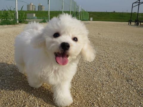 ボロニーズ こいぬ情報 子犬情報 家族募集中 おとなしい犬 飼いやすい犬 犬の社会化 フントヒュッテ bolognese #ボロニーズ #こいぬ情報 #子犬情報 #家族募集中 #おとなしい犬 #飼いやすい犬 #犬の社会化 #フントヒュッテ #bolognese _ 150.jpg