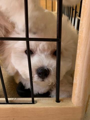ボロニーズ こいぬ情報 子犬情報 家族募集中 おとなしい犬 飼いやすい犬 犬の社会化 フントヒュッテ bolognese #ボロニーズ #こいぬ情報 #子犬情報 #家族募集中 #おとなしい犬 #飼いやすい犬 #犬の社会化 #フントヒュッテ #bolognese _ 174.jpg