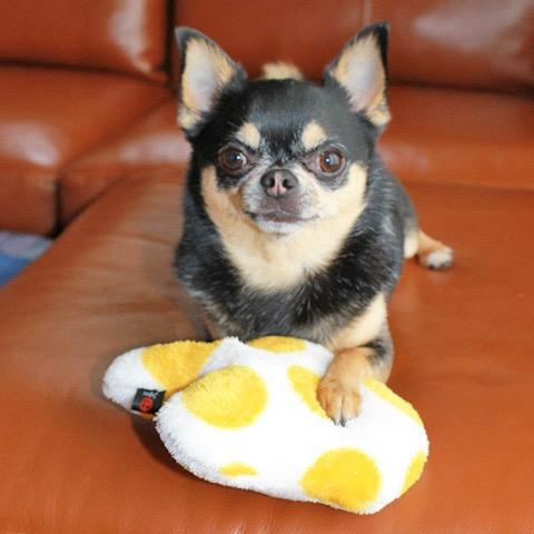 iDog&iCat アイドッグアイキャット iToy 国産ペット用おもちゃ POPな柄のキノコ型おもちゃ カシャカシャ入りでワンコも夢中に 東京 フントヒュッテ 画像 犬用おもちゃ _ 14.jpg