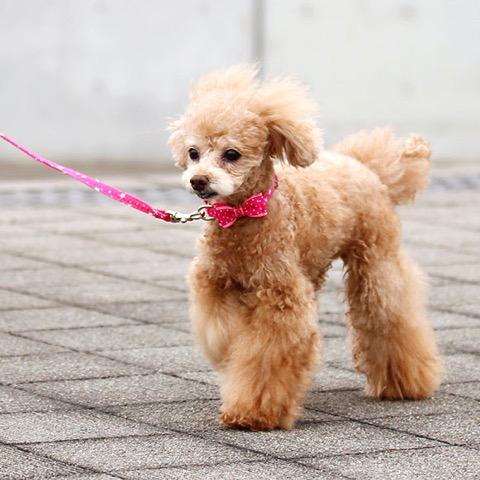 犬 首輪 リード iDog アイドッグ リード・カラーセット ランダムスター×スターリボン #犬 #首輪 #リード #iDog #アイドッグ リード・カラーセット ランダムスター×スターリボン _ 6.jpg