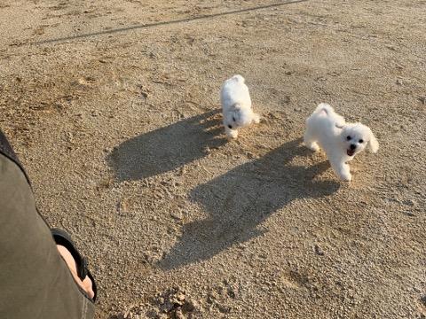 ボロニーズ こいぬ情報 子犬情報 家族募集中 おとなしい犬 飼いやすい犬 犬の社会化 フントヒュッテ bolognese #ボロニーズ #こいぬ情報 #子犬情報 #家族募集中 #おとなしい犬 #飼いやすい犬 #犬の社会化 #フントヒュッテ #bolognese _ 196.jpg