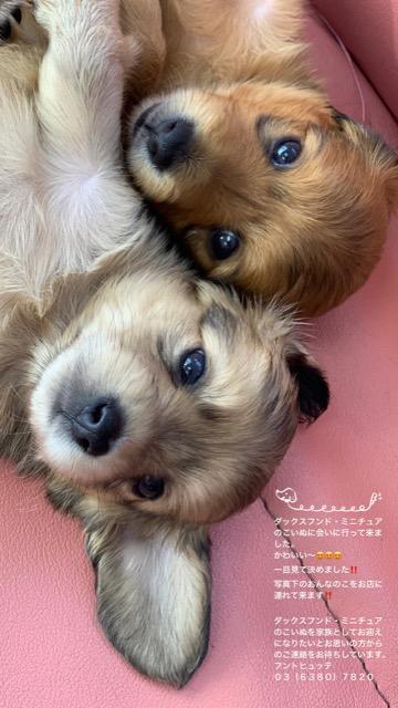 ダックスフンド ダックスフント こいぬ情報 子犬情報 家族募集中 犬の社会化 フントヒュッテ puppy dachshund #ダックスフンド #ダックスフント #こいぬ情報 #子犬情報 #家族募集中 #犬の社会化 #フントヒュッテ #puppy #dachshund _ 3.jpg