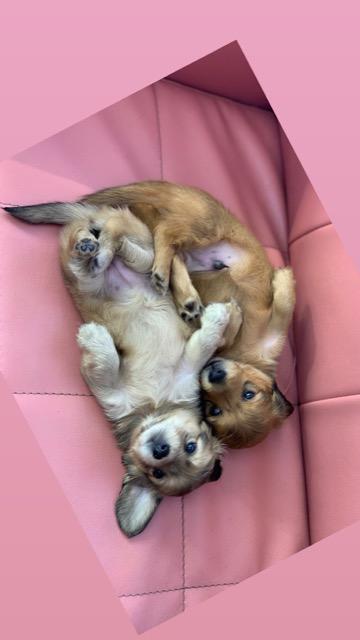 ダックスフンド ダックスフント こいぬ情報 子犬情報 家族募集中 犬の社会化 フントヒュッテ puppy dachshund #ダックスフンド #ダックスフント #こいぬ情報 #子犬情報 #家族募集中 #犬の社会化 #フントヒュッテ #puppy #dachshund _ 4.jpg