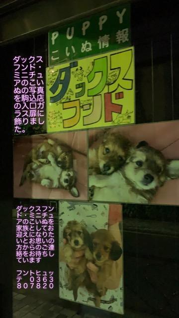 ダックスフンド ダックスフント こいぬ情報 子犬情報 家族募集中 犬の社会化 フントヒュッテ puppy dachshund #ダックスフンド #ダックスフント #こいぬ情報 #子犬情報 #家族募集中 #犬の社会化 #フントヒュッテ #puppy #dachshund _ 6.jpg