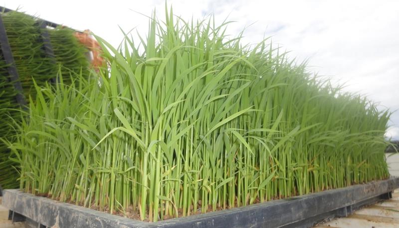 田植え 稲